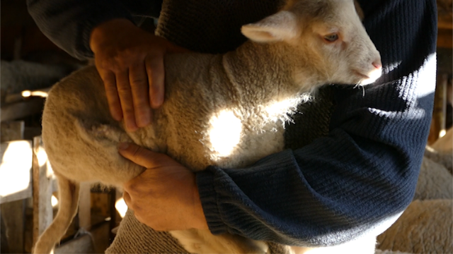 Može li u Srbiji biti više ovaca?