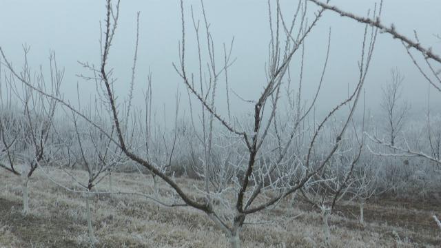 Osetljivost voćki na niske temperature