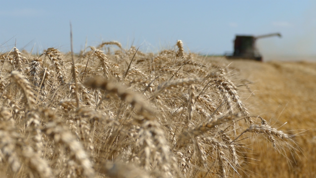 Svetski lider u izvozu pšenice
