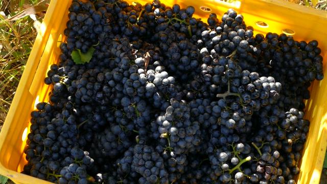 Uređenje vinograda, ali i prodaje grožđa