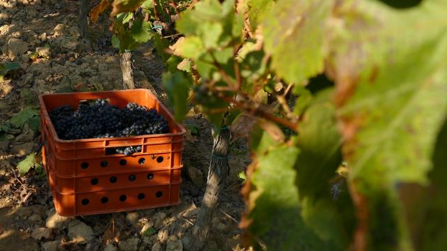 Za razvoj vinogradarstva 8 mera