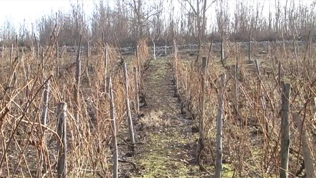 Vinogradi na jugu u dobrom stanju