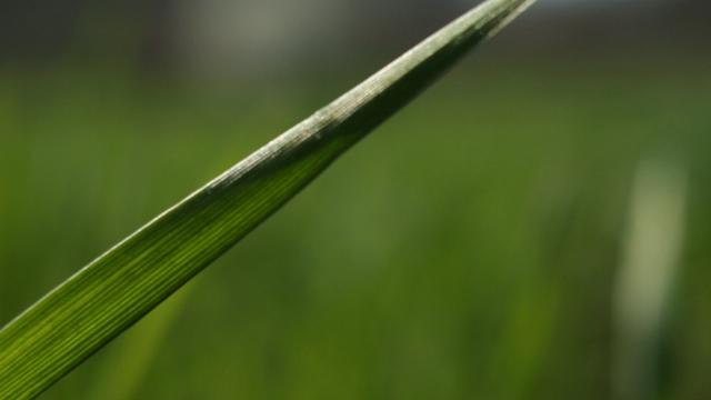 U toku primena herbicida u pšenici