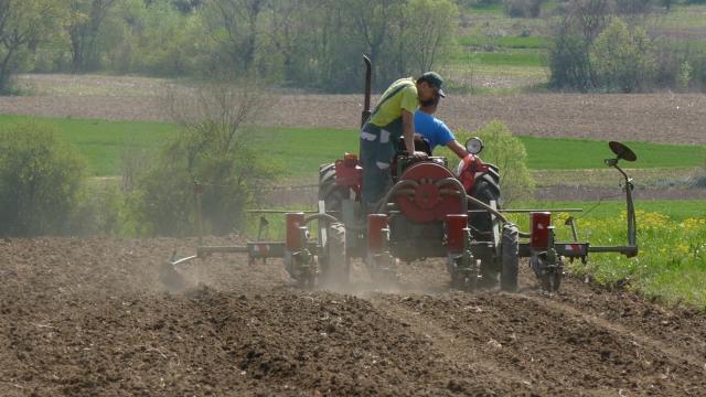 Kukuruz u Sremu na 116.000 hektara