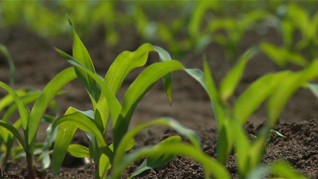Korovi prete kukuruzu