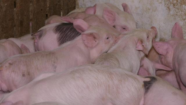 Neophodna stabilnost cena svinjetine