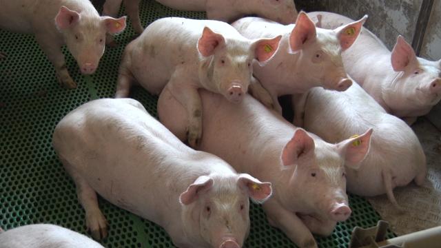 Proizvodnja mesa 50% ukupne agrarne proizvodnje u RS