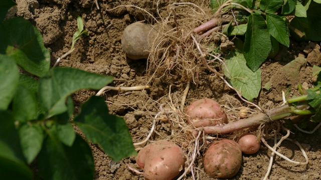 Nude krompir u bescenje