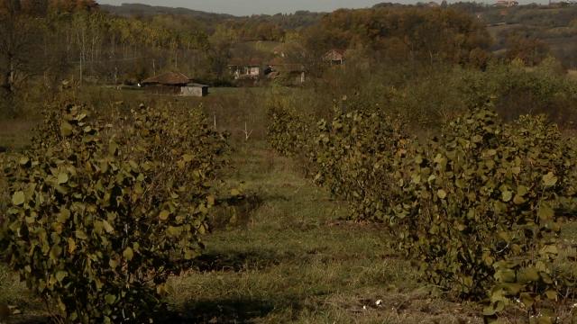Planiraju da podignu do 10.000 hektara lešnika