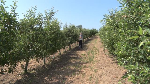 Uzgoj jabuke dobar poslovni poduhvat