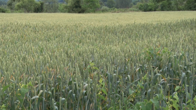 Pod pšenicom  oko 20 hiljada hektara