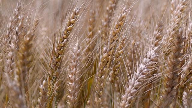 Usevi pšenice u dobrom stanju
