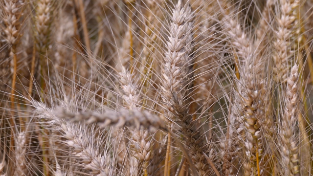 Stručnjaci očekuju od 5 do 5,5 tona po hektaru