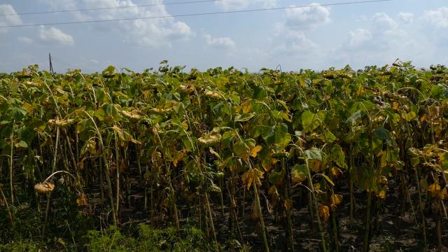 Suncokret dobro podnosi sušnije vreme
