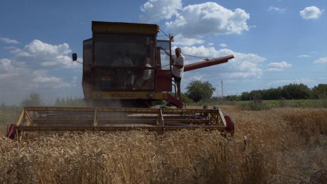 Smanjuju se površine pod pšenicom