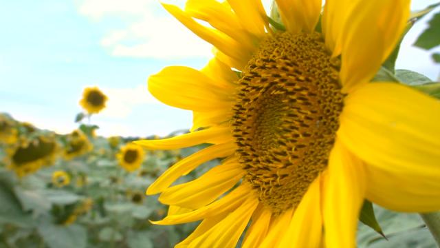 U Pomoravlju pod suncokretom oko 4.000 hektara