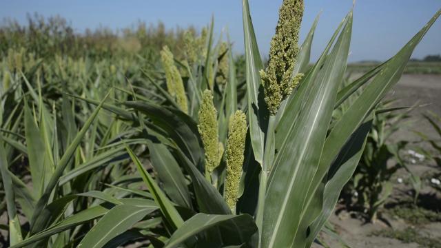Da li će suša povećati tražnju za sirkom?