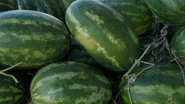 """Crna lubenica """"lusia""""najbolja u uslovima suše"""