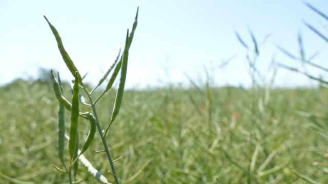 Isplativija od pšenice