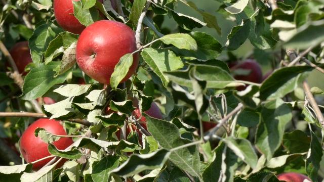 Dobar rod voća u Pančevu