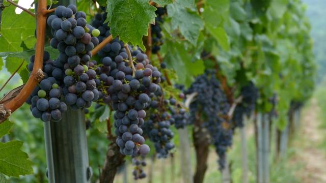 Vinogradare očekuje puno posla