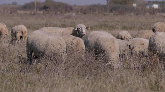 Obogaćuje se rasni sastav u ovčarstvu