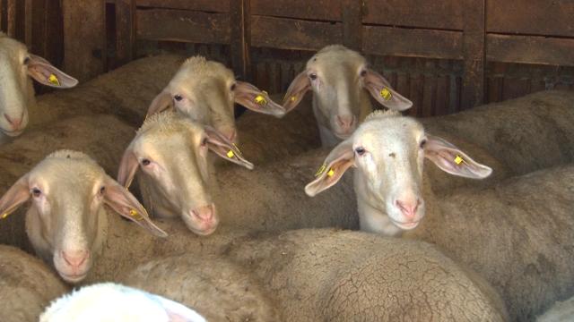 Umatičena stada sve brojnija