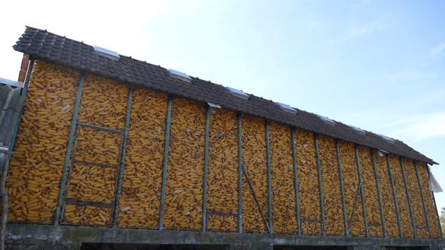 Nastavljen pad cene kukuruza