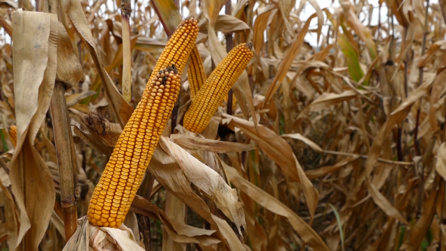 Cene kukuruza i soje bez promene