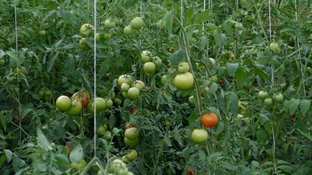 Površine pod organskom proizvodnjom u Srbiji i dalje male