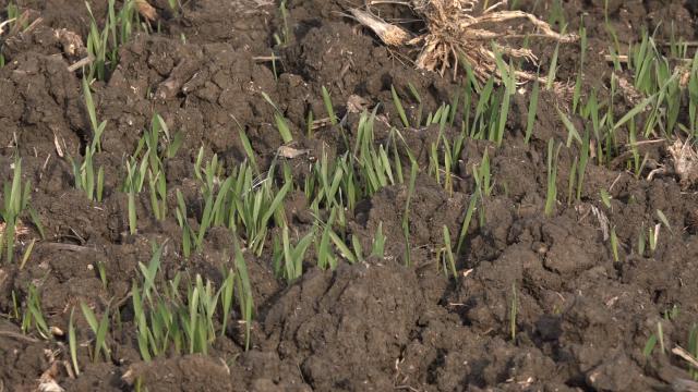 Ozima žita u dobroj kondiciji
