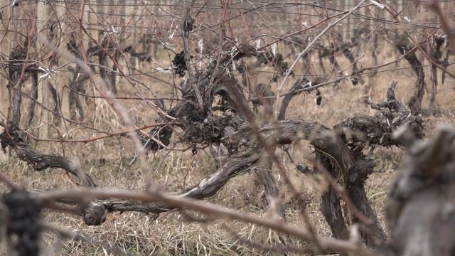 U Pomoravlju niču novi zasadi i porodične vinarije