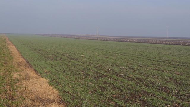 Povećane površine pod pšenicom i uljanom repicom