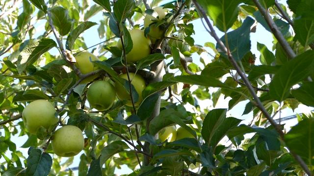 Prepakivali jabuke iz Poljske