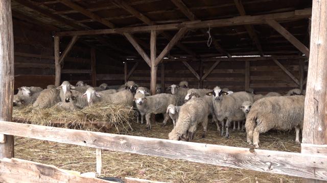 Subvencije utiču na razvoj ovčarstva