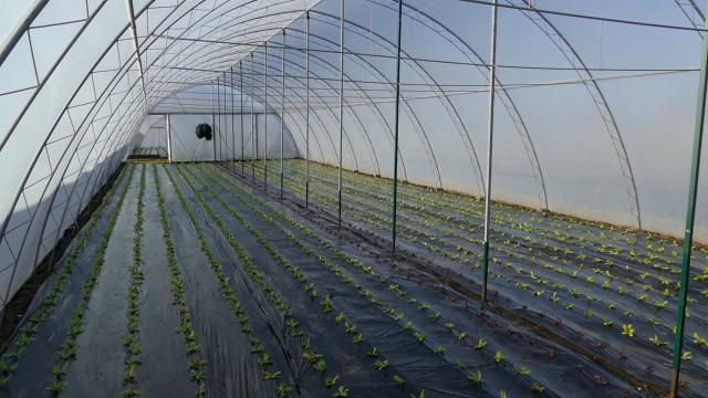 Proizvodnja povrća u plastenicima donosi dobru zaradu