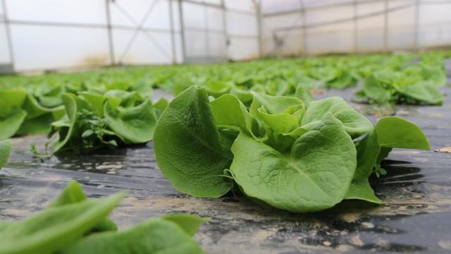 Zelena salata već od ranog proleća