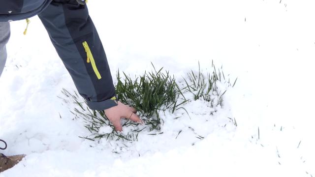 Sneg pogoduje usevima u Sremu