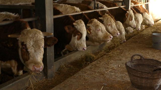 Krenuo prvi kontigent govedine za tursko tržište