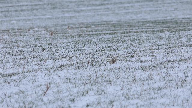 Ratari bacaju đubrivo preko snega