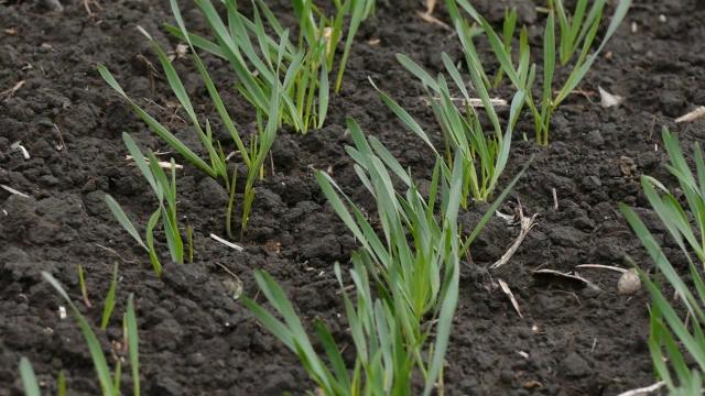 Pšenica na njivama u Šumadiji lepo napreduje