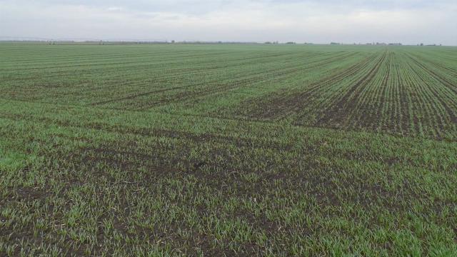 U Mačvi pod pšenicom 30.000 hektara