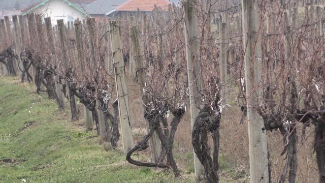 Vinova loza dobro podnela martovski mraz