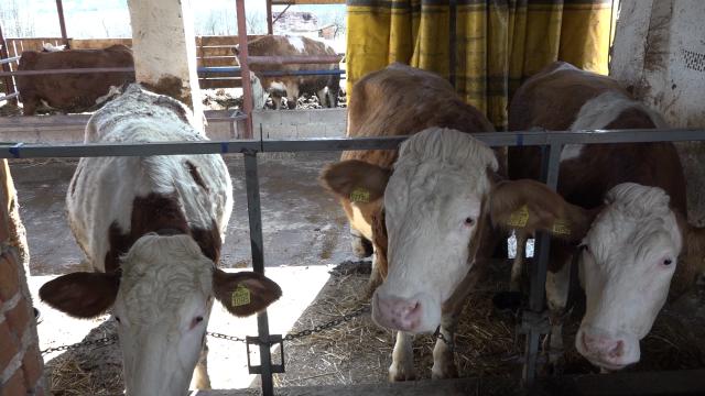 Turci otvaraju farmu goveda