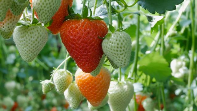 U jagodama najviše pesticida