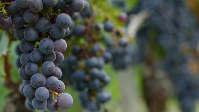 Raste izvoz vina u Rusiju