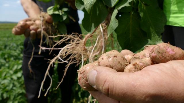 Borba protiv zlatice veliki izazov u organskoj poljoprivredi