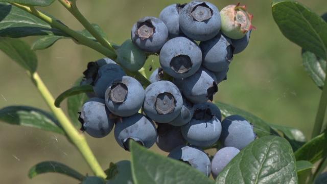 Prepoznali kvalitet srpske borovnice