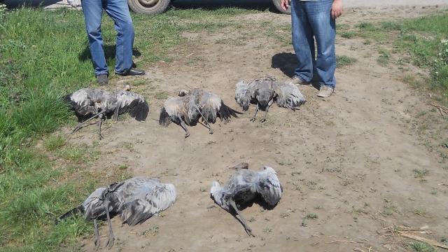 Najviše ugrožene ptice grabljivice