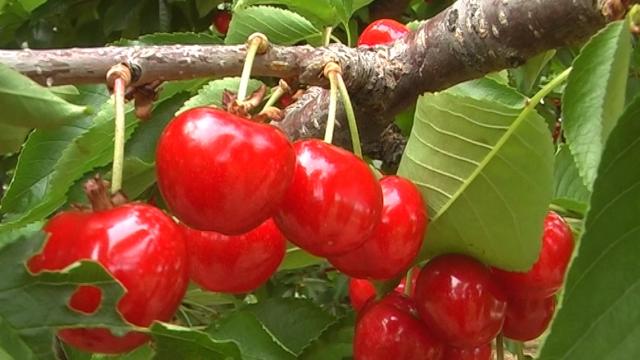Ove godine problem kvalitet trešnje, a ne cena